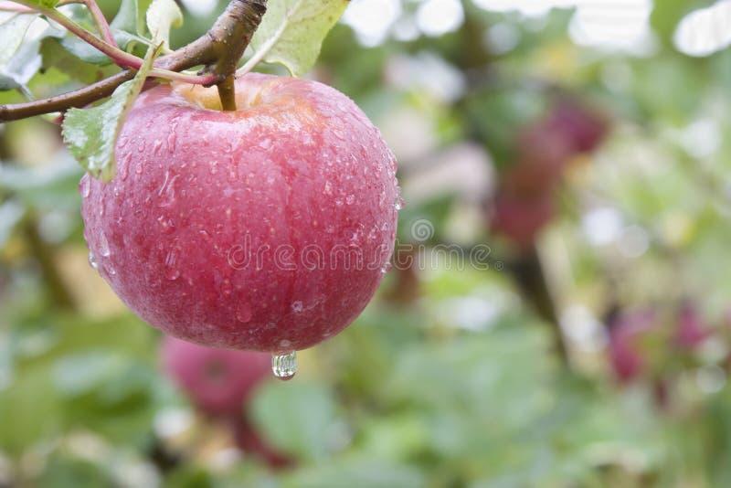 Primer rosáceo de la manzana imagen de archivo
