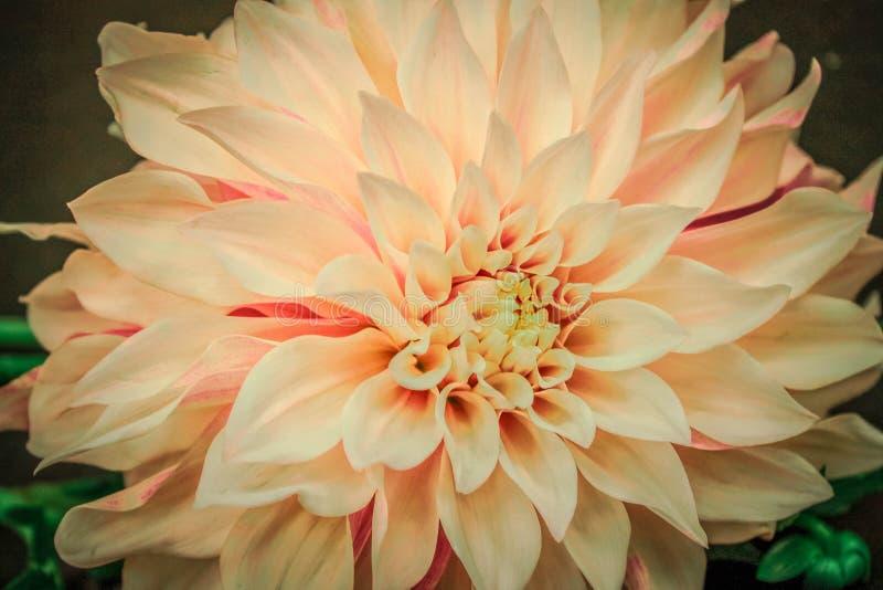 Primer rosado de Dahlia Wallpaper Banner foto de archivo libre de regalías