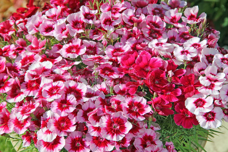Download Primer rosado de la flor imagen de archivo. Imagen de demostraciones - 41920995