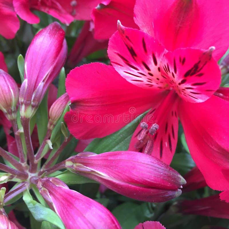 Primer rosado de la flor del alstroemeria foto de archivo libre de regalías