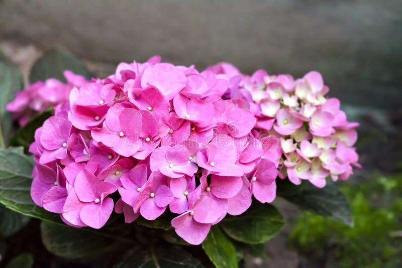 Primer rosado de la inflorescencia de la hortensia de Bigleaf del macrophylla de la hortensia imagen de archivo libre de regalías
