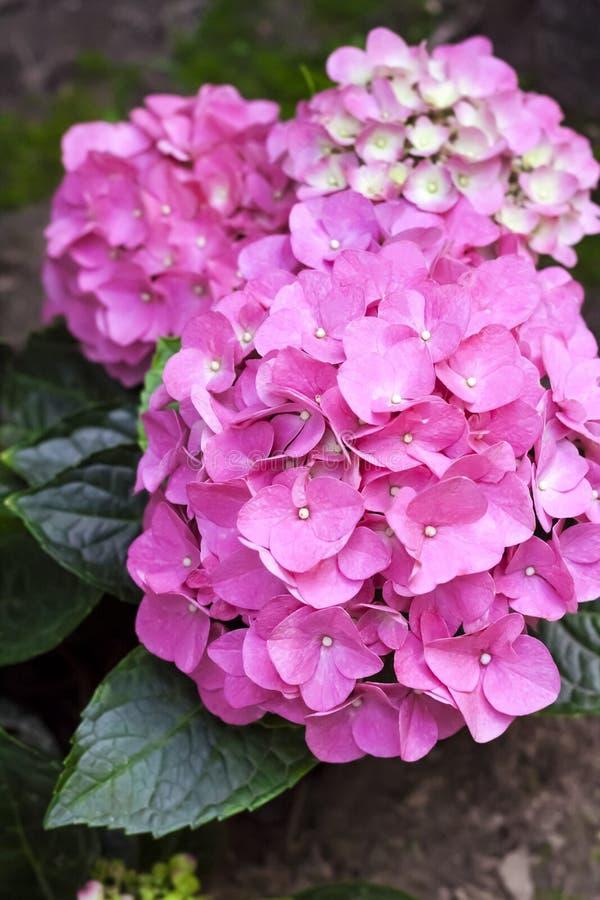 Primer rosado de la inflorescencia de la hortensia de Bigleaf del macrophylla de la hortensia imagen de archivo