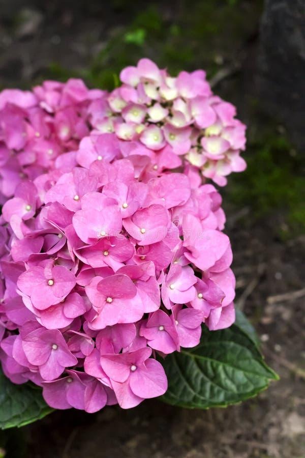 Primer rosado de la inflorescencia de la hortensia de Bigleaf del macrophylla de la hortensia fotografía de archivo libre de regalías