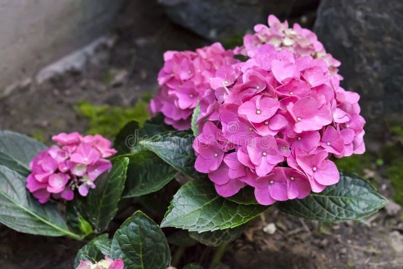 Primer rosado de la inflorescencia de la hortensia de Bigleaf del macrophylla de la hortensia foto de archivo libre de regalías