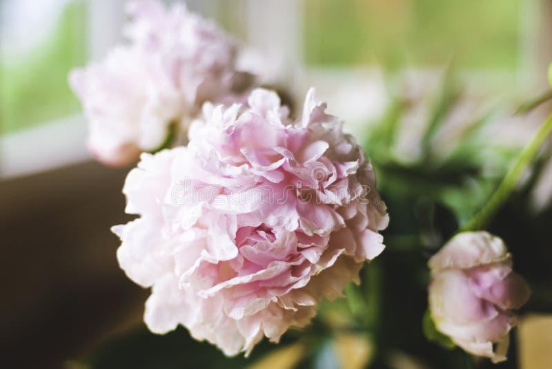 Primer rosado de las peonías, foco entonado, suave Fondo floral apacible - imagen imagenes de archivo