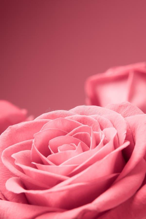 Primer rosado de las rosas en el fondo rojo imagen de archivo libre de regalías