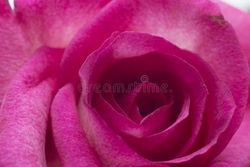 Primer rosado de Rose imágenes de archivo libres de regalías
