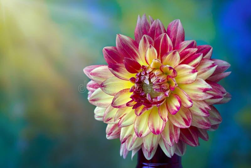 Primer rosado, rojo y amarillo hermoso de la flor de la dalia fotos de archivo libres de regalías