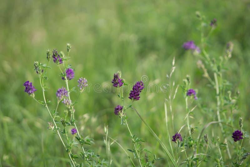 Primer salvaje de la alfalfa foto de archivo