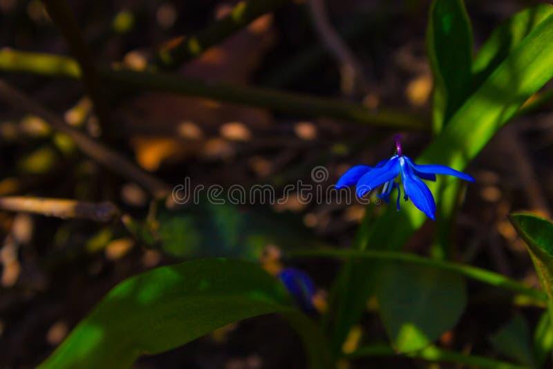Primer scilla de la primavera fotos de archivo