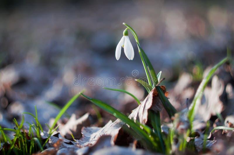 Primer snowdrop de la flor de la primavera fotografía de archivo libre de regalías
