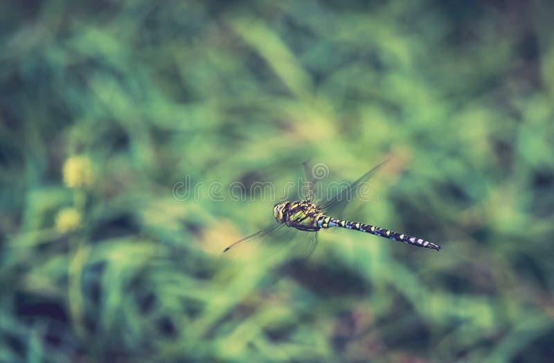 primer solo del insecto de la libélula en mediados de-vuelo en fondo verde en verano imagenes de archivo