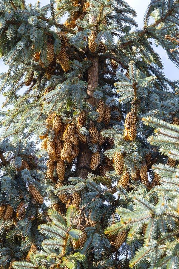 Primer spruce azul del árbol Árbol de navidad Árbol de pino o árbol de abeto con los conos en montañas cárpatas foto de archivo libre de regalías