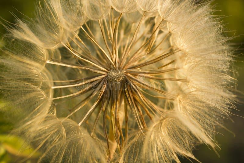 Primer suave de la flor del diente de león, fondo abstracto de la naturaleza de la primavera imágenes de archivo libres de regalías