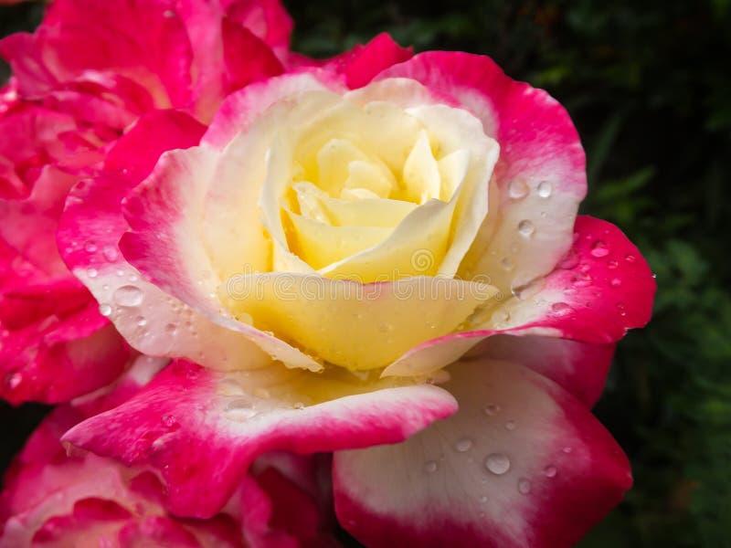 Primer suave del placer doble color de rosa hermoso Rosa púrpura lujosa con el corazón amarillo Los pétalos de Rose se cubren con foto de archivo libre de regalías