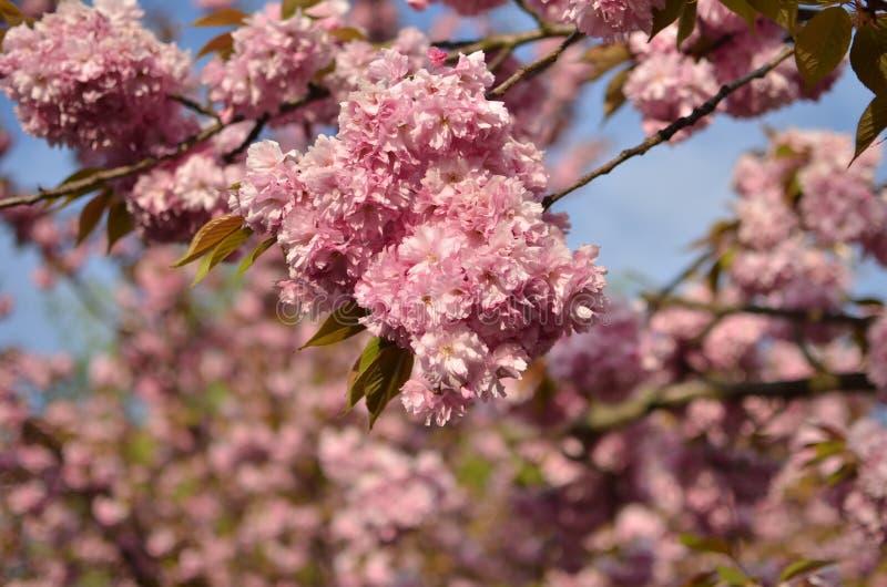 Primer tirado de la flor de cerezo japonesa rosada fotografía de archivo libre de regalías