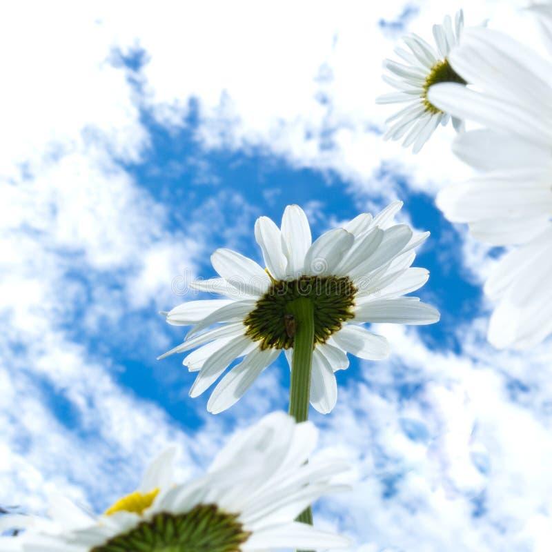Primer tirado de las flores de la margarita blanca de debajo imagen de archivo libre de regalías
