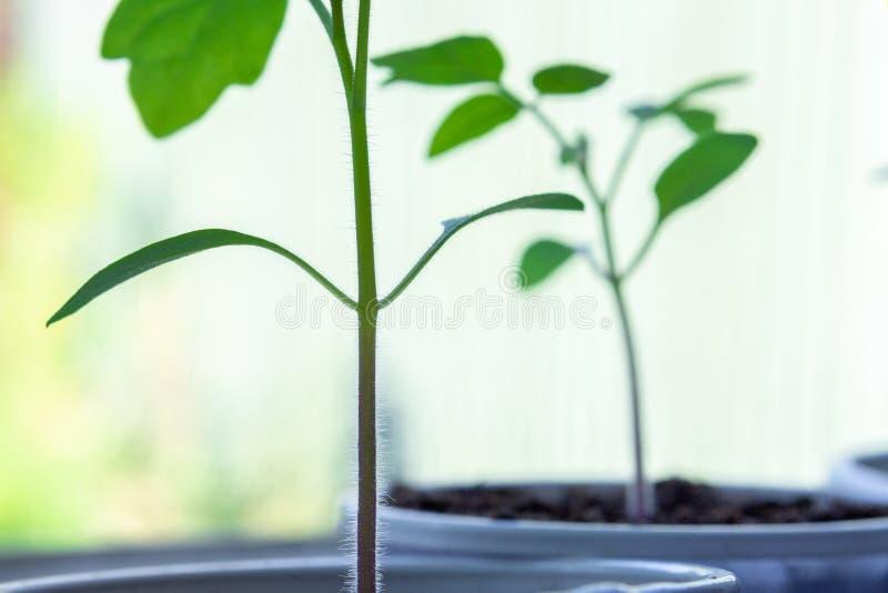 Primer tirado de las plantas de tomate jovenes que crecen en alféizar fotos de archivo libres de regalías