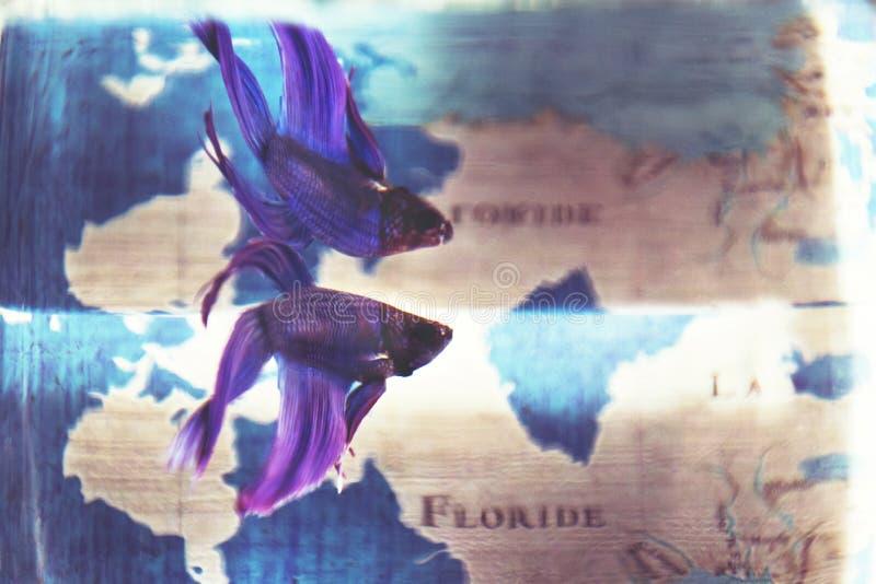 Primer tirado de un pequeño azul y de un pescado hermoso exótico púrpura en un tarro con agua y la reflexión imágenes de archivo libres de regalías
