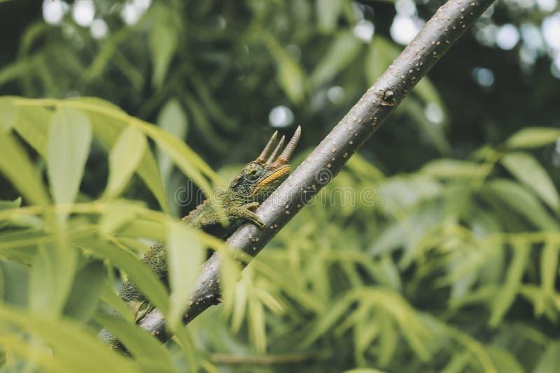 Primer tirado de un reptil salvaje hermoso en un palillo en un bosque imágenes de archivo libres de regalías