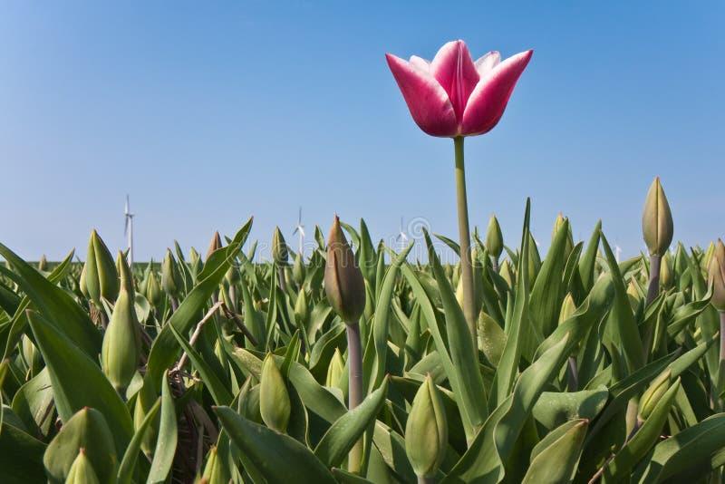 Primer tulipán foto de archivo libre de regalías