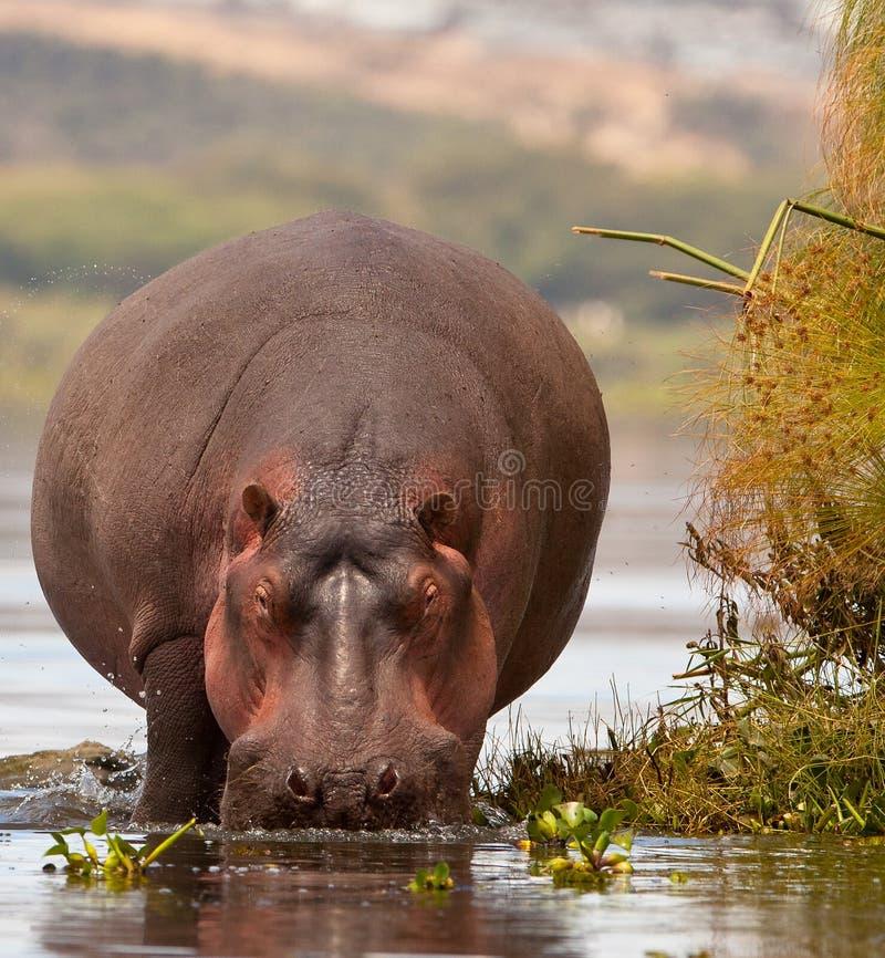 Primer a un gigante: el hipopótamo imagenes de archivo