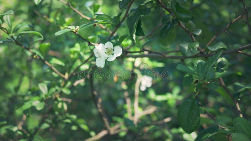 Primer Una rama de florecer el membrillo japon?s con la fruta verde Arbusto de la fruta con las flores blancas hermosas y el verd fotografía de archivo libre de regalías