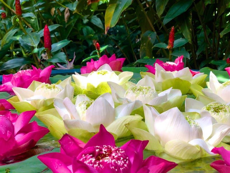 Primer, vaina verde del loto y pétalos suaves del rosa y blanco del loto contra follaje fotografía de archivo libre de regalías
