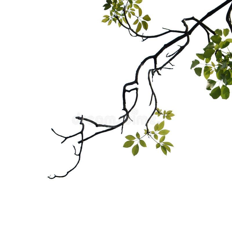 Primer verde de la rama de árbol aislado en blanco imagen de archivo