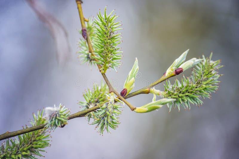 Primer verde de la rama de la floración del flor del sauce fotos de archivo