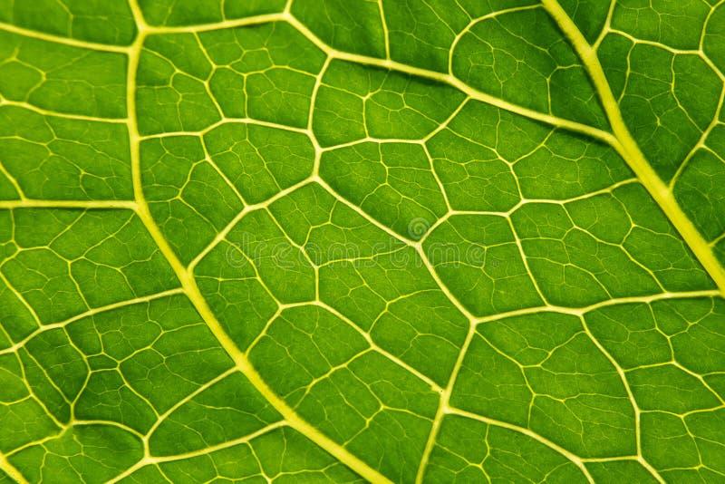 Primer verde del Armoracia de la hoja, cierre del rábano picante de la hoja de la textura para arriba Macro Rusticana del Armorac foto de archivo libre de regalías