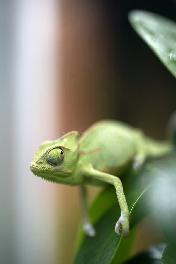 Primer verde del camale?n con los ojos grandes que se sientan en una rama y que se sostienen la pata fotos de archivo