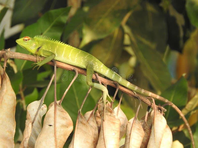 Primer verde del camale?n que se sienta en una rama en las selvas de Sri Lanka imagenes de archivo