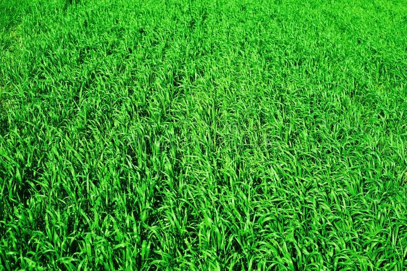 Primer verde del campo de trigo como fondo, paisaje de la primavera foto de archivo libre de regalías