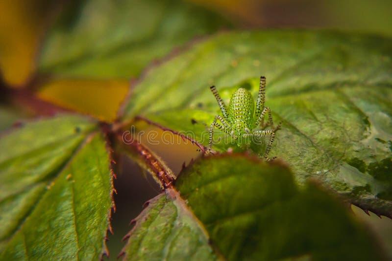 Primer verde del insecto en las hojas del arbusto color de rosa fotos de archivo