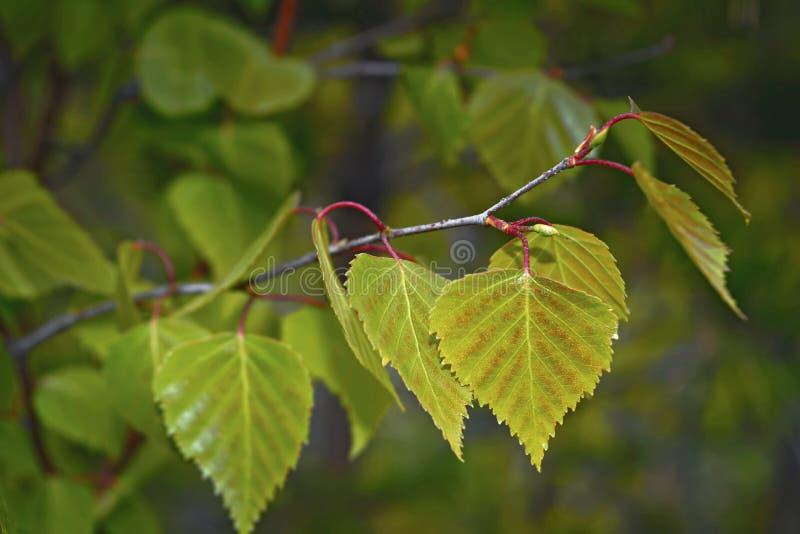 Primer verde joven del follaje de un fondo de la primavera fotos de archivo libres de regalías