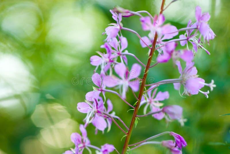 Primer violeta de la flor en el verano foto de archivo