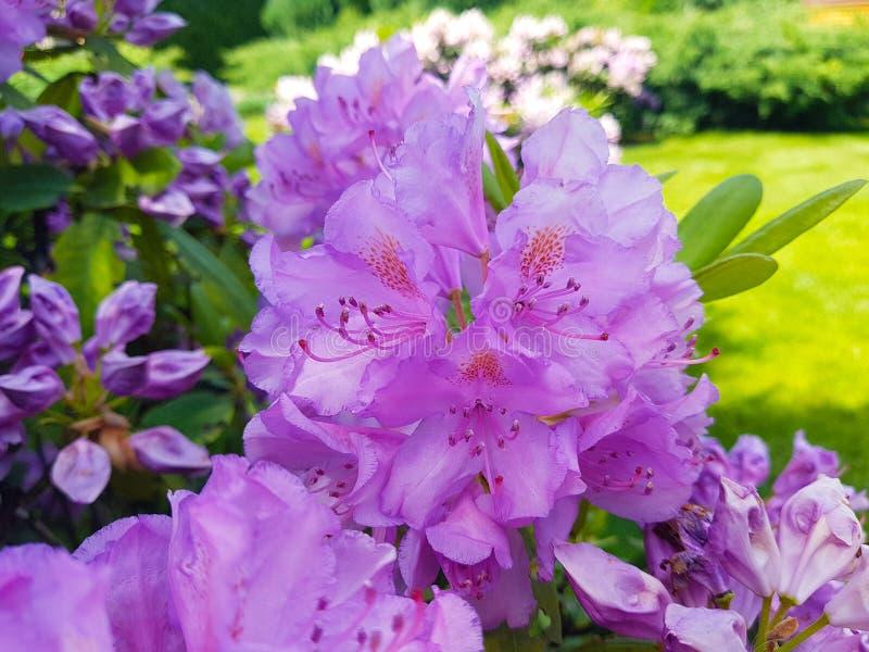 Primer violeta floreciente del rododendro de las flores en el jardín botánico D?a asoleado Fondo hermoso imagenes de archivo