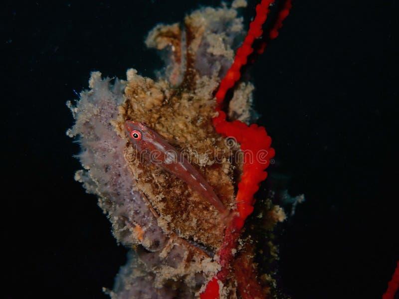 Primer y tiro macro de Whip Coral Goby en un coral suave durante una zambullida del ocio en Tunku Abdul Rahman Park, Kota Kinabal imagen de archivo