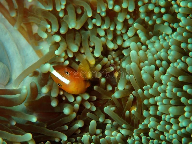 Primer y tiro macro del perideraion del Amphiprion, de los clownfish rosados de la mofeta o de los anemonefish rosados en Tunku A fotos de archivo