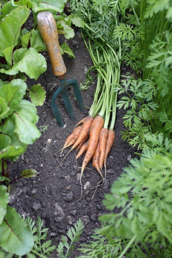 Primera cosecha de zanahorias foto de archivo
