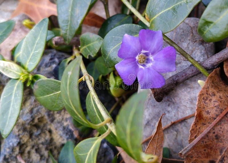 Primera flor de la primavera que se rompe a través fotografía de archivo