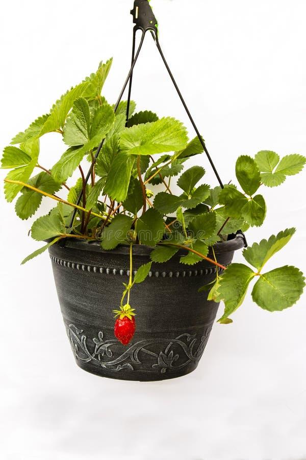 Primera fruta: Planta de fresa en el pote negro, fondo blanco imagenes de archivo