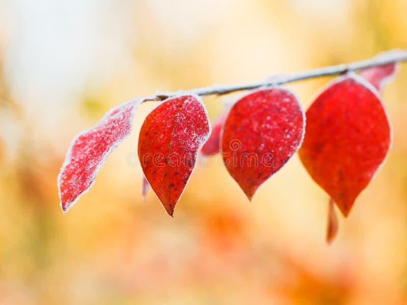Primera helada en las hojas del rojo en otoño fotografía de archivo