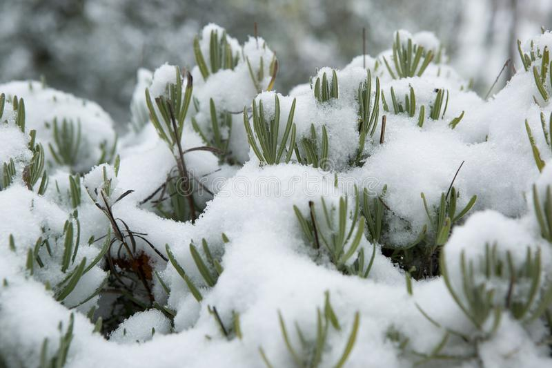 Primera nieve en la lavanda en brda de ka del ¡del goriÅ imagen de archivo