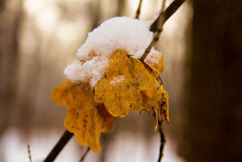 Primera nieve en las hojas del roble imagen de archivo libre de regalías