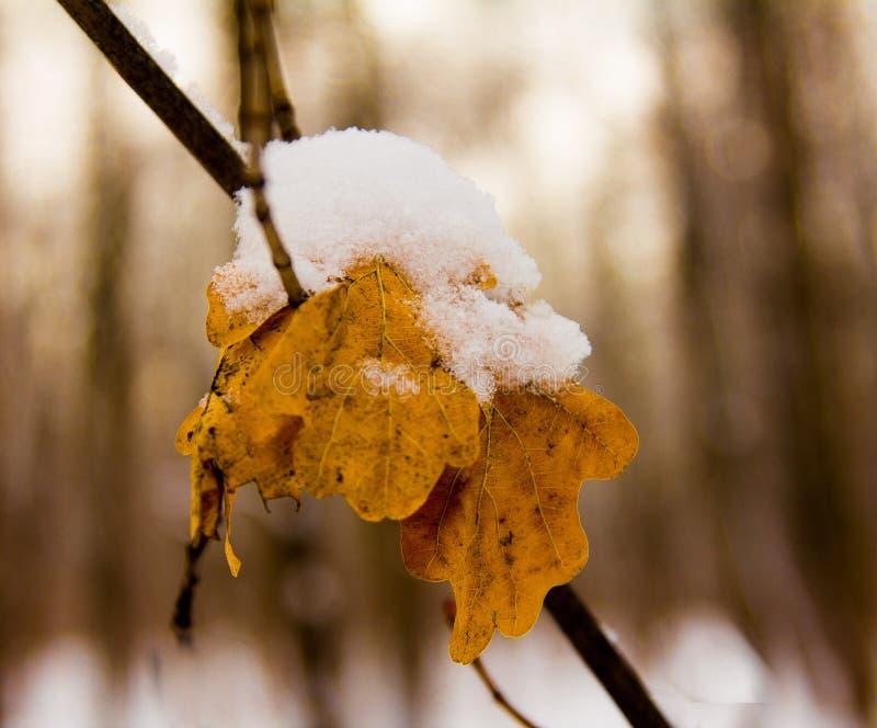 Primera nieve en las hojas del roble imagenes de archivo
