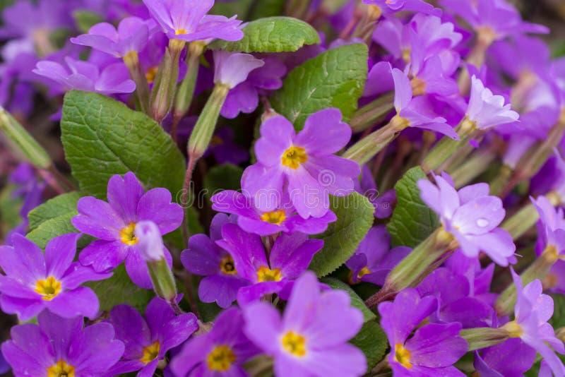 Primera primavera de la flor fotografía de archivo