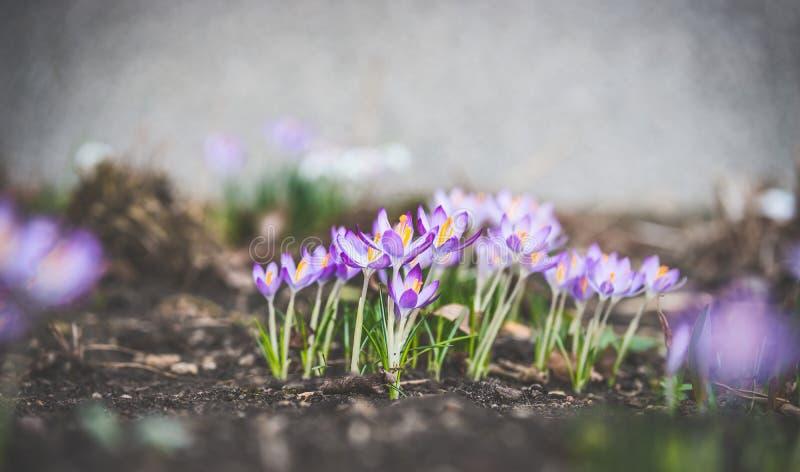 Primeras azafranes en jardín o parque de la primavera imagenes de archivo