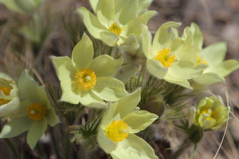 Primeras flores de la primavera del campo fotografía de archivo libre de regalías